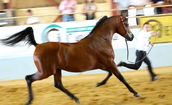 Abha Omani caballo árabe best in show
