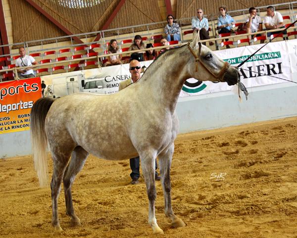 Yegua árabe campeona en Andalucía