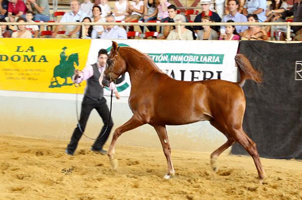 caballo árabe con mejores Mejores movimientos en Mairena