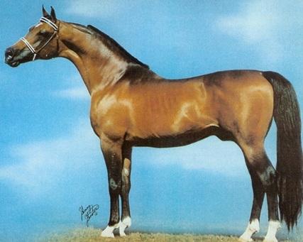 Bask Arabian Horse Stallion