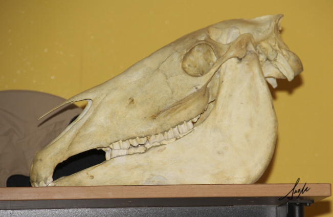 Cráneo equino- Arabigan.com