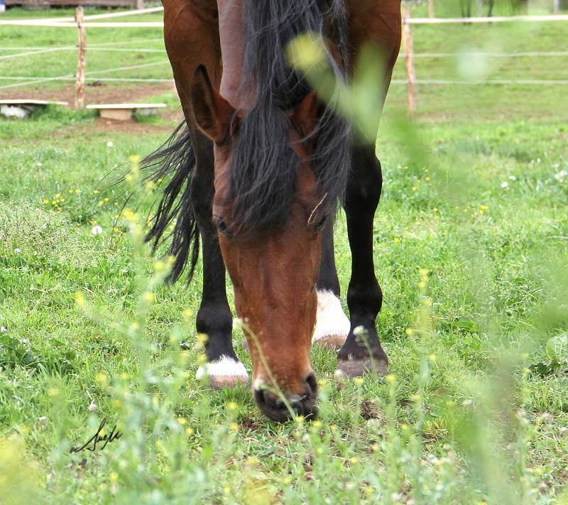 Ulceras en caballos- Arábigan.com