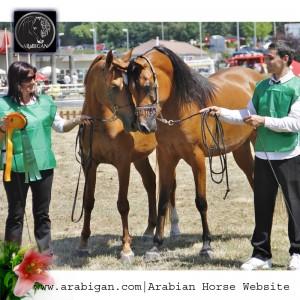 Dos caballos árabes en la entrega de Premios de silleda