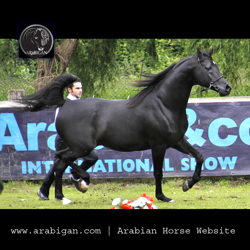 caballo arabe de capa negra