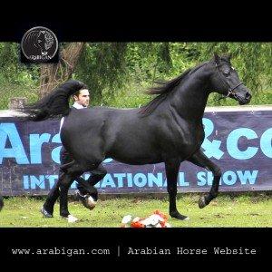 caballo de capa negra