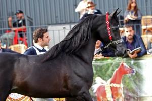 Duaig Ibn Alixir arabian horse arabigan.com