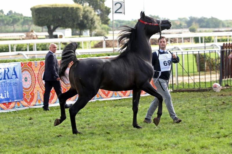 Caballo árabe Duaig Ibn Alixir Pure egyptian horse