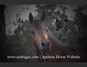 Arabigan.com , mejor cabeza decabllo árabe