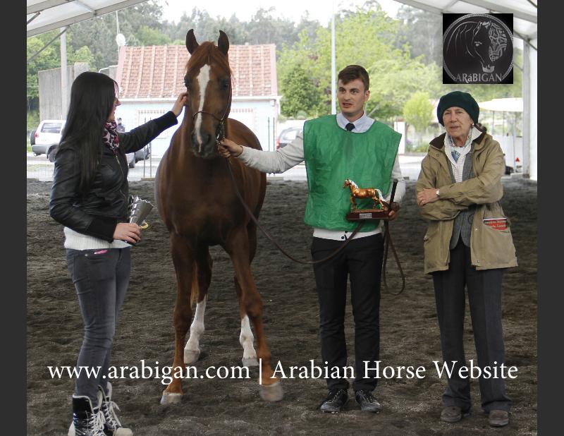 www.arabigan.com Adam El Qaais potro arabe