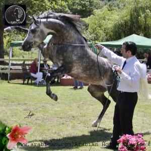 presentador de caballos árabes