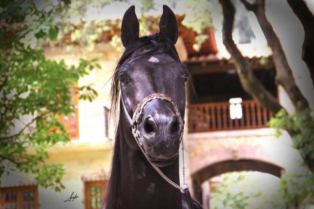 expresivo caballo semental árabe negro