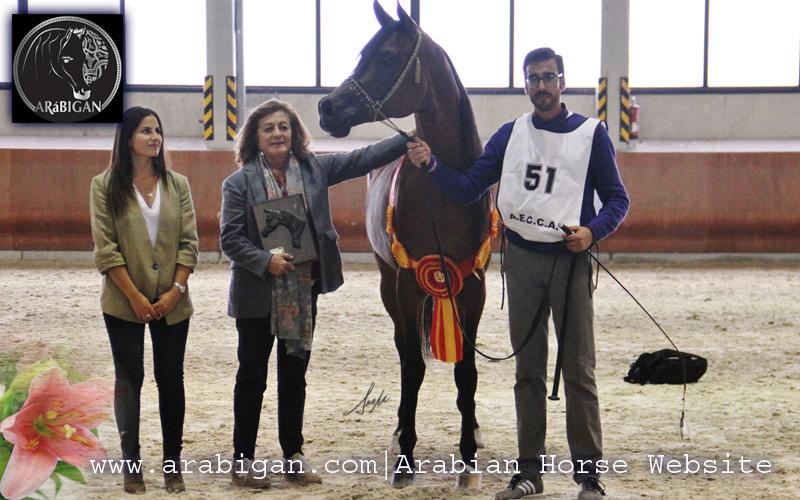 Campeonato de España de caballos árabes abha ryad