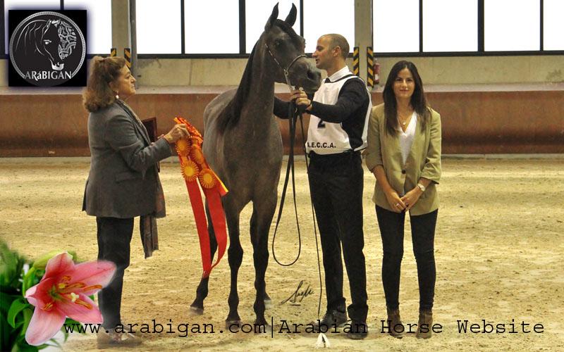 campeonato de españa de caballos arabes abha zeinab