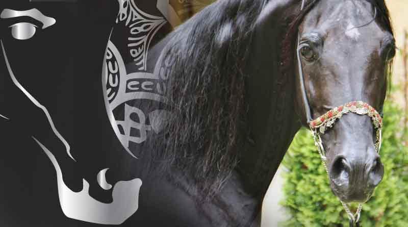 ganadería-caballos-árabes-V