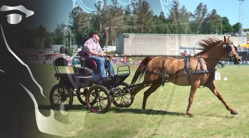 caballo árabe en enganche