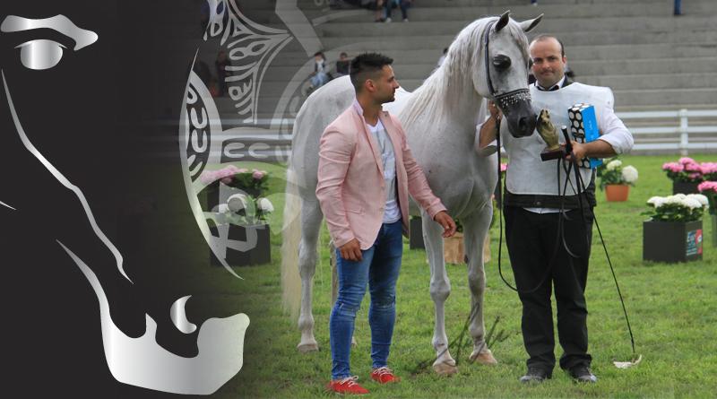 oro de yeguas silleda caballos árabes arabigan