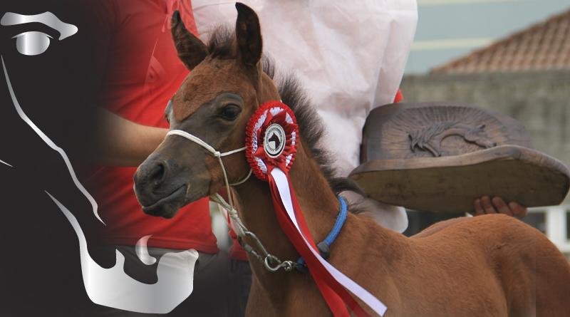 oro de caballos arabes futurity