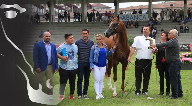 oro sementales silleda caballos arabes arabigan