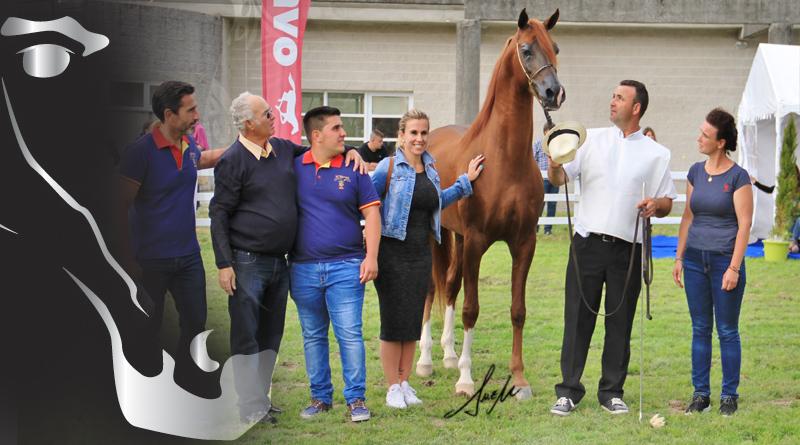 semental caballo arabe silleda 7 y mas