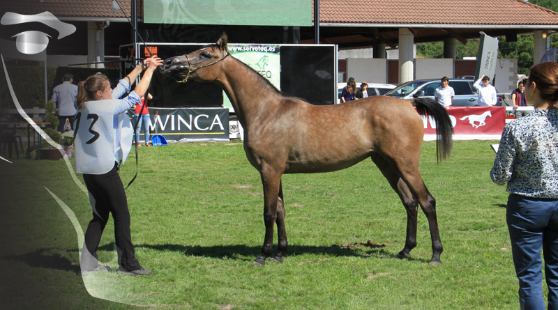 clases en campeonato de caballos arabes de Silleda