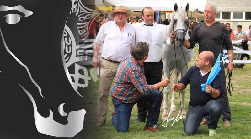 yeguas senior silleda caballos arabes arabigan