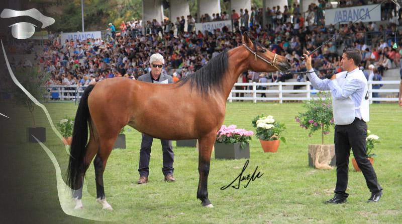 morfológico de caballos árabes de Silleda semana verde