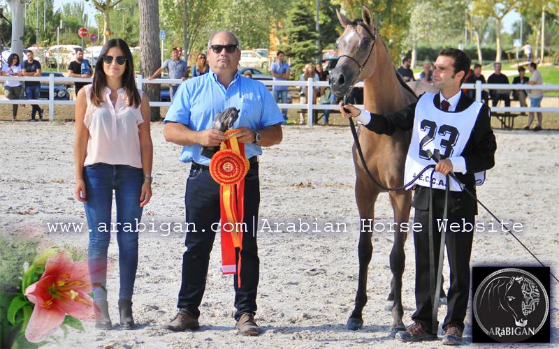 basim-al-cape-yearling-potro-caballo-arabe-arabigan