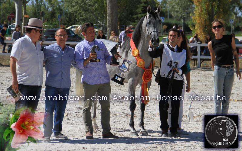 isabella-yegua-arabe-campeona-de-espana-arabigan