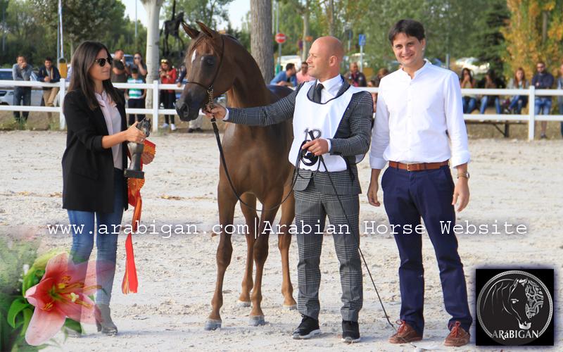 ss-danat-potra-arabe-campeona-de-espana-arabigan