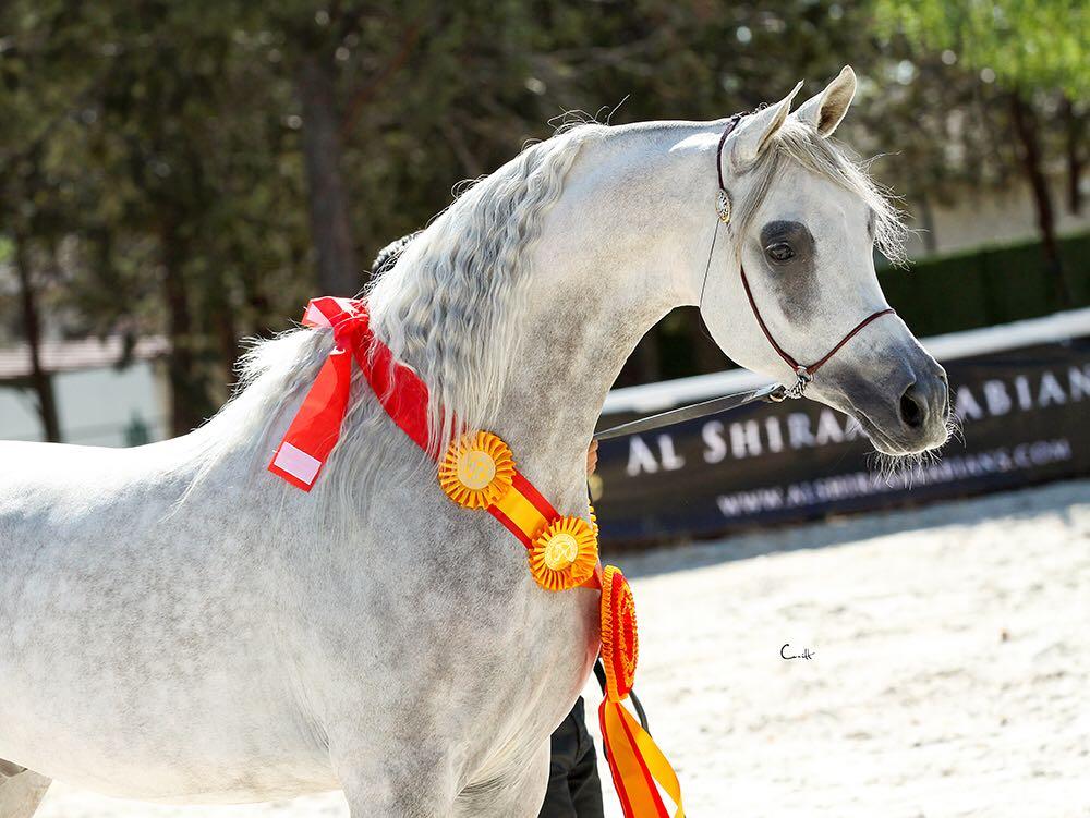 Semental árabe Campeón de España 2016