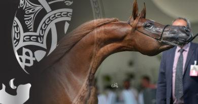 al kalediah arabian horse show
