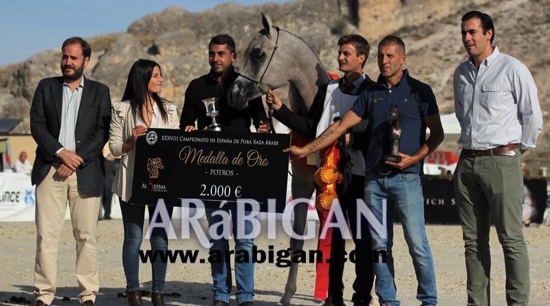 oro yearling potros cto españa caballos arabes
