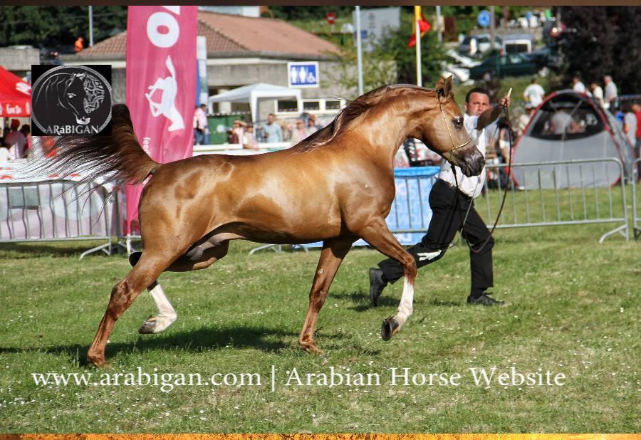 semana verde silleda campeonato de caballos arabes