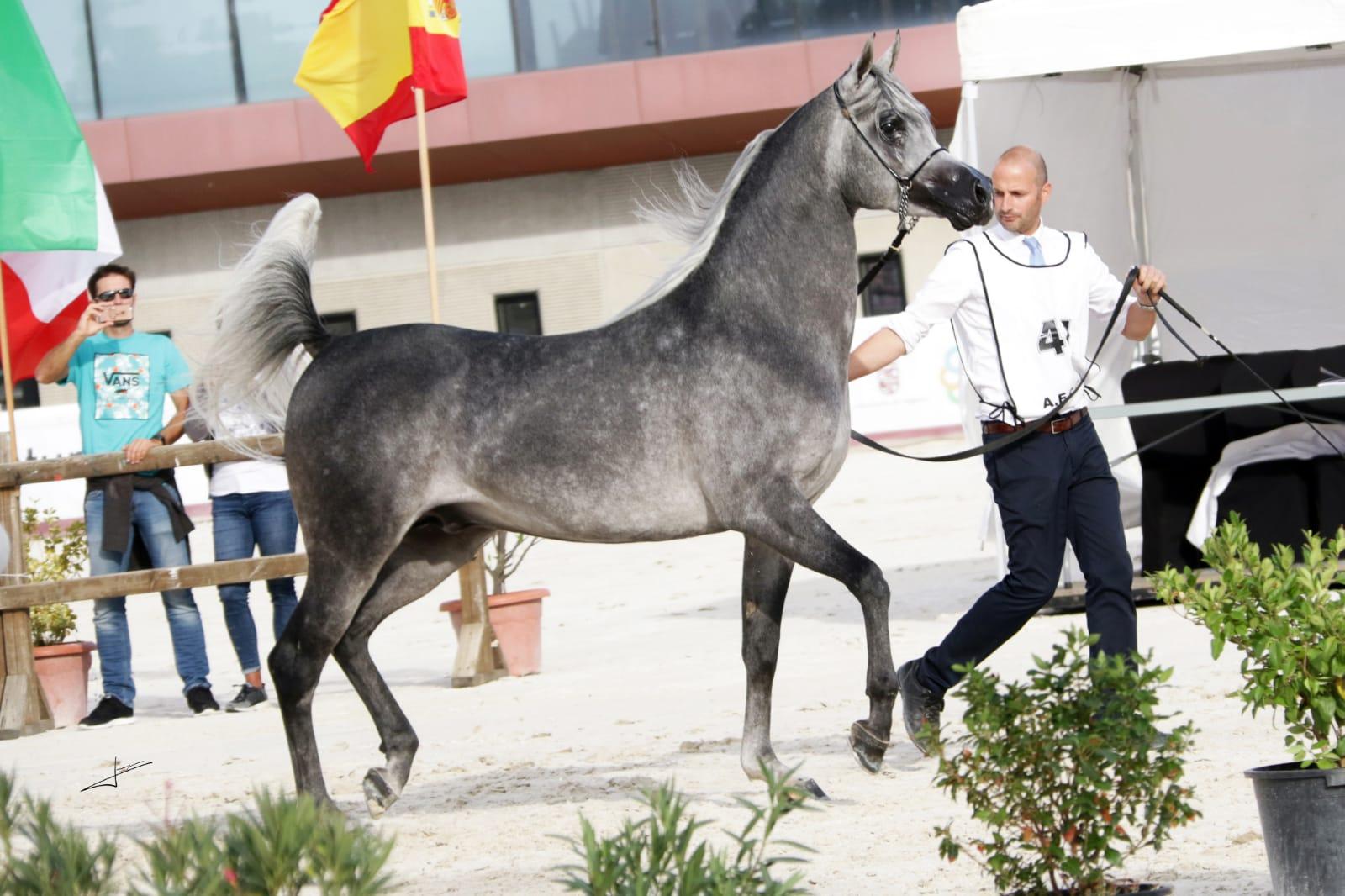 caballo árabe campeon españa sementales 2018 izan al cape
