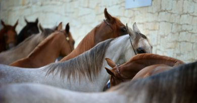 noticia caballos arabes
